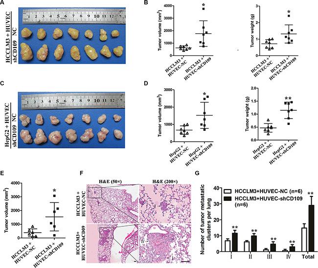 CD109 knockdown in HUVEC facilitated tumor growth and metastasis in vivo.