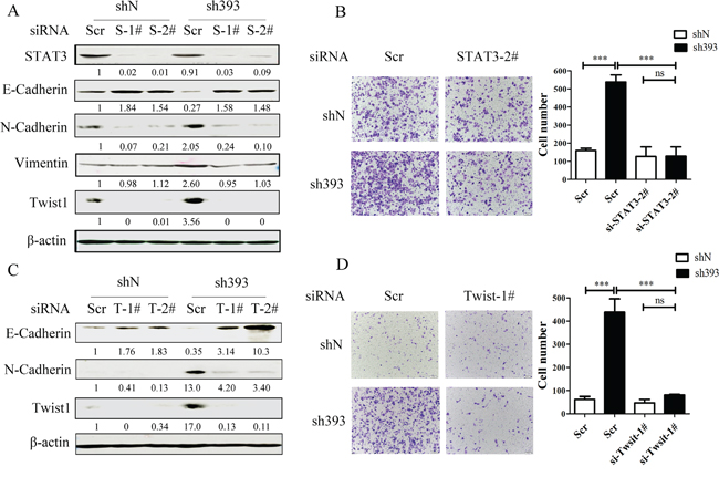 CMTM3-knockdown-induced cell migration is dependent on the STAT3/Twist1/EMT pathway.
