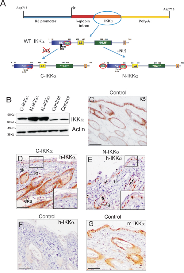 Expression of the transgenic IKKα protein in skin of C-IKKα and N-IKKα mice.