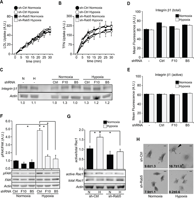 Silencing of Rab5 decreases FAK and Rac1 activation induced by hypoxia, without alterations in endocytosis.