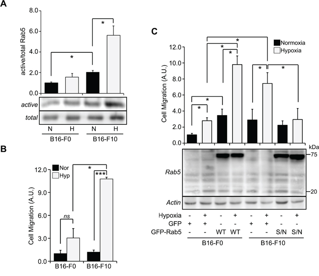 The aggressiveness of tumor cells determines the magnitude of Rab5 activation and migratory capacity induced by hypoxia.