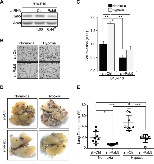 Hypoxia promotes tumor cell invasion and metastasis in a Rab5 dependent manner.
