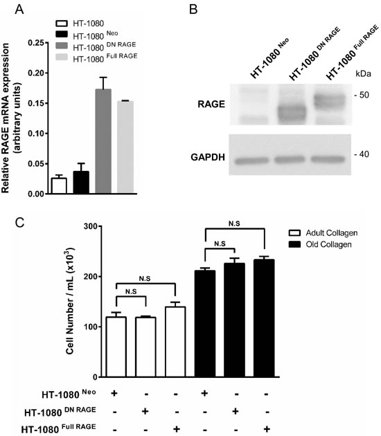 RAGE expression in parental and RAGE-transfected HT-1080 cells, and effect of collagen aging on cell proliferation.