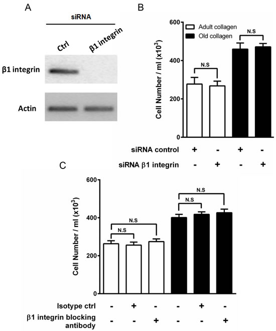 Effect of β1 integrin inhibition on HT-1080 cell proliferation.