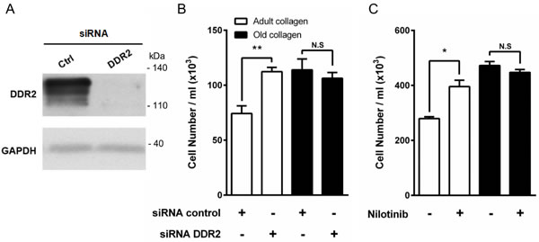 Effect of DDR2 inhibition on HT-1080 cell proliferation.