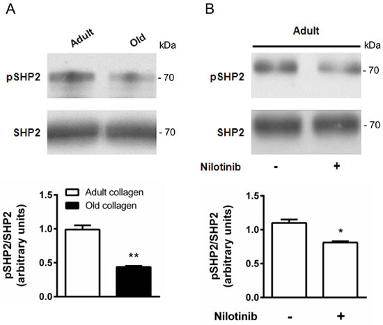 Effect of collagen aging on SHP-2 activation.