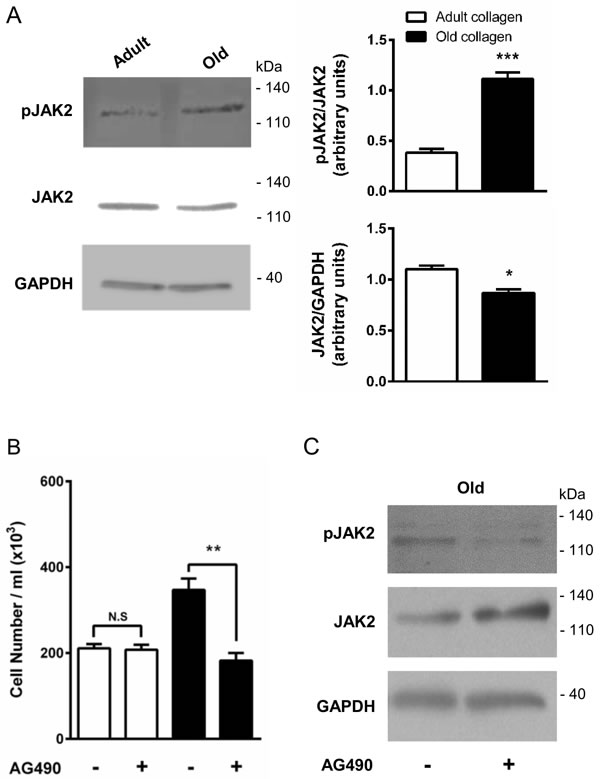 Effect of collagen aging on JAK2 activation and HT-1080 cell proliferation.