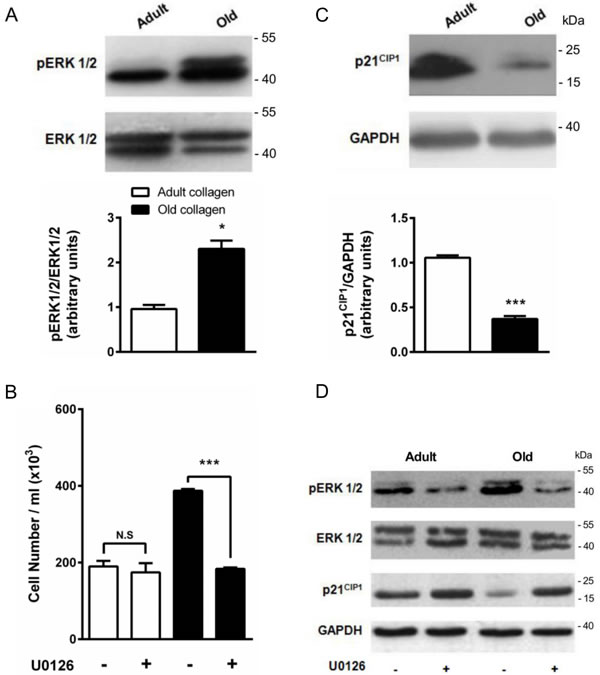 Effect of collagen aging on ERK1/2 activation and p21