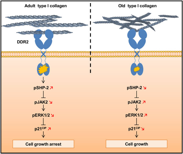 Schematic drawing of DDR2-induced cell growth regulation by type I collagen aging.