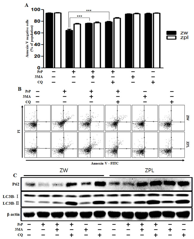 Autophagy flux induced by PrP (106-126) resulted in more neurotoxicity in ZW 13-2 cells.