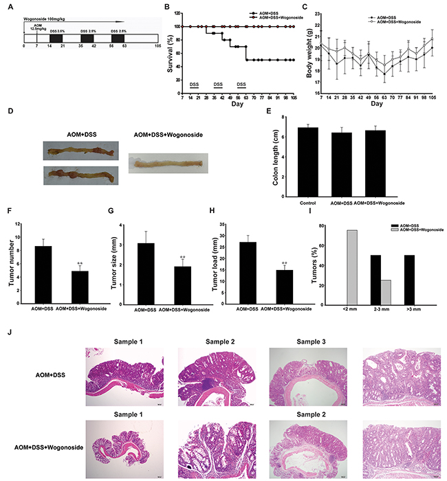 Wogonoside treatment decreased the incidence and development of AOM/DSS-induced CAC in mice.