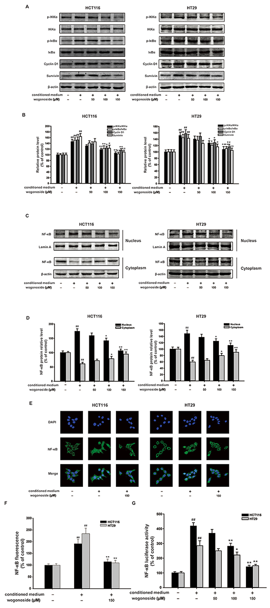 Wogonoside inhibited the activation of NF-κB induced by the conditioned media from LPS-activated THP-1 cells in human colon cancer cells.