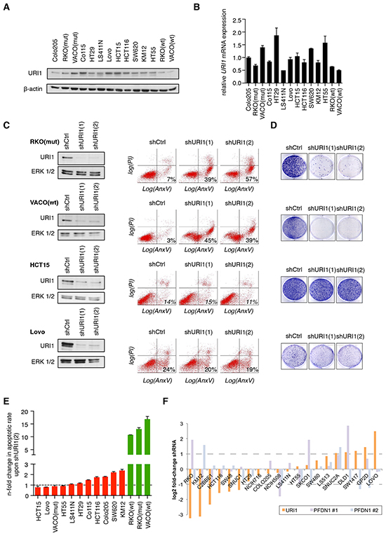 Differential requirement of URI1 function for the survival of CRC cell lines.