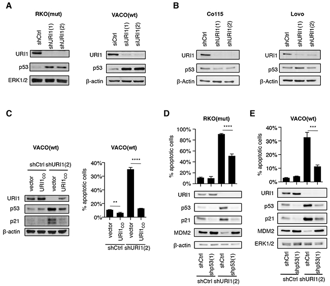 URI1 depletion causes activation of p53 in URI1-dependent CRC cells.