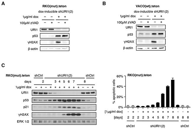 URI1 depletion-induced apoptosis causes γH2AX accumulation.