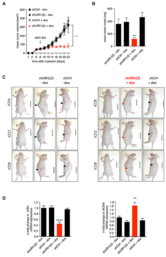 URI1 is required for tumor growth of URI1-dependent CRC cells after tumor establishment.