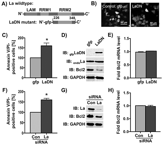 Bcl2 protein expression is reduced by siRNA-mediated La depletion or transient expression of La dominant negative (LaDN) mutant in cells.