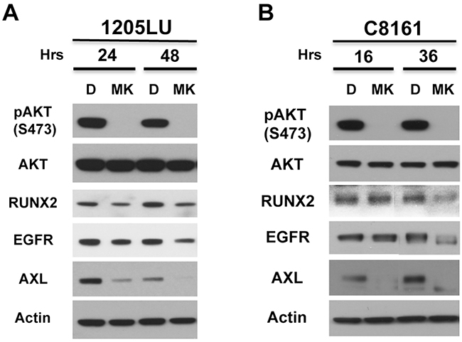 AKT activity is involved in RUNX2 and RTK expression.