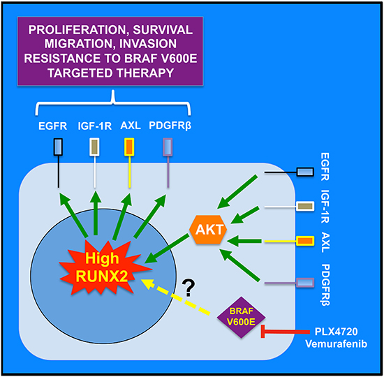Working model for the role of RUNX2 in RTK-based autocrine loops and resistance to BRAF V600E targeted therapy.