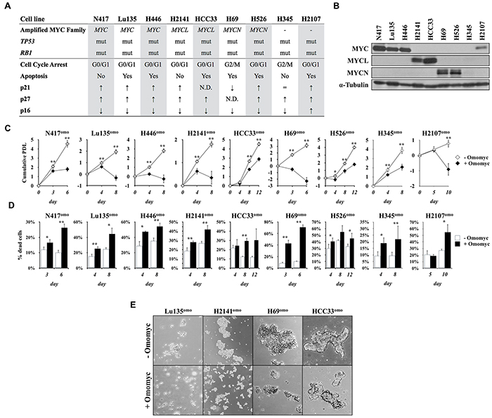 Omomyc induces growth suppression in SCLC cells.
