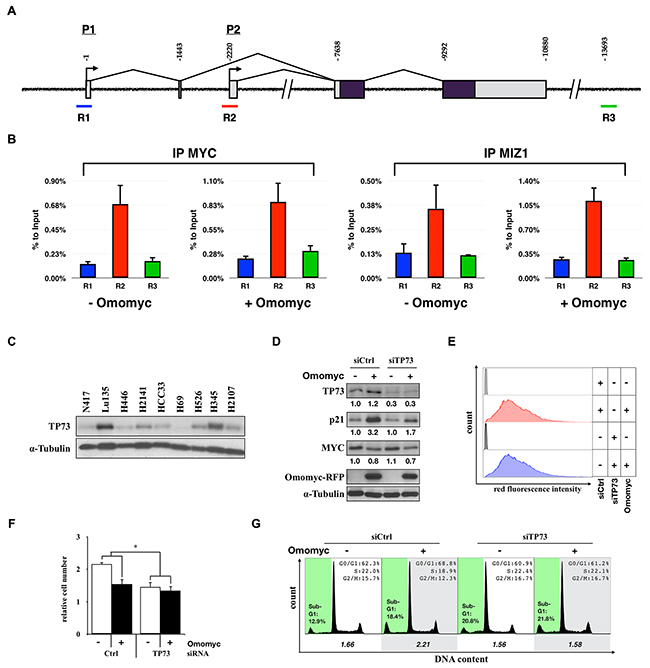 Activation of CDKN1A by TP73 in a MYC-amplified SCLC cell line.