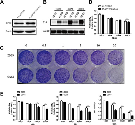 Analysis of infection efficiency and cytotoxicity of GP73-modified adenoviruses on PLC/PRF/5 sphere cells.