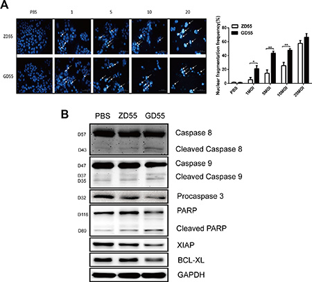 GD55 could induce the more extent of apoptosis in PLC/PRF/5 sphere cells compared to ZD55.