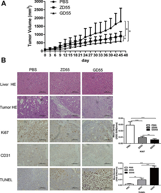 GD55 inhibited PLC/PRF/5 sphere xenograft tumors growth in nude mice.