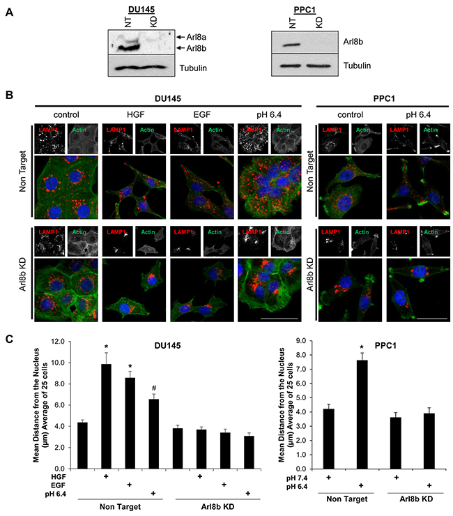 Arl8b knockdown prevents low pH-, EGF-, and HGF-induced lysosome trafficking to the cell membrane.