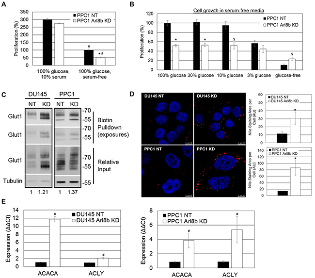 Arl8b depletion imposes an aberrant lipogenic phenotype to prostate cancer cells and impairs proliferation under limited nutrient conditions.
