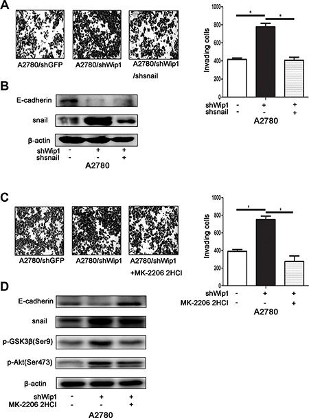 Wip1 suppresses cellular motility through Akt/GSK-3β/snail pathway signaling.