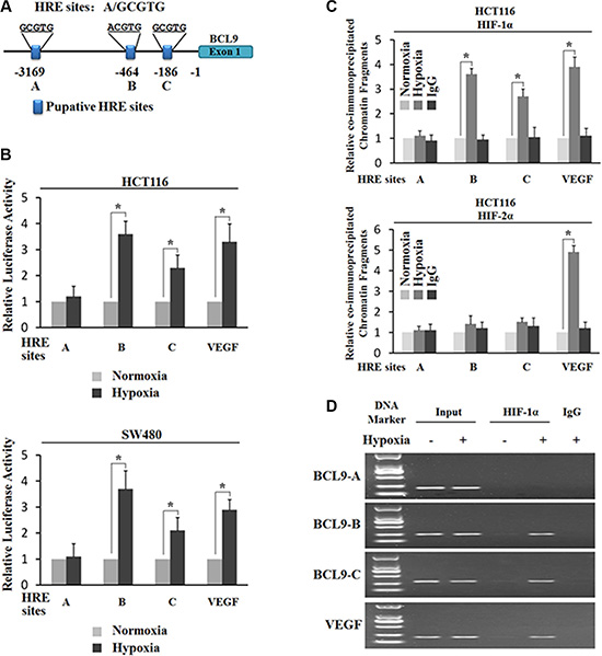 Hypoxia transactivates hypoxia-responsive elements (HREs) in the BCL-9 promoter through HIF-1α.