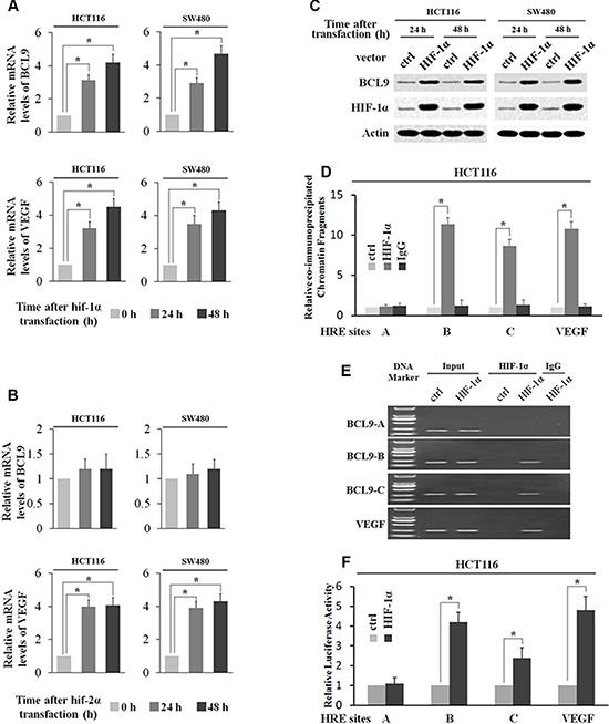 HIF-1α transcriptionally stimulates BCL-9 expression.