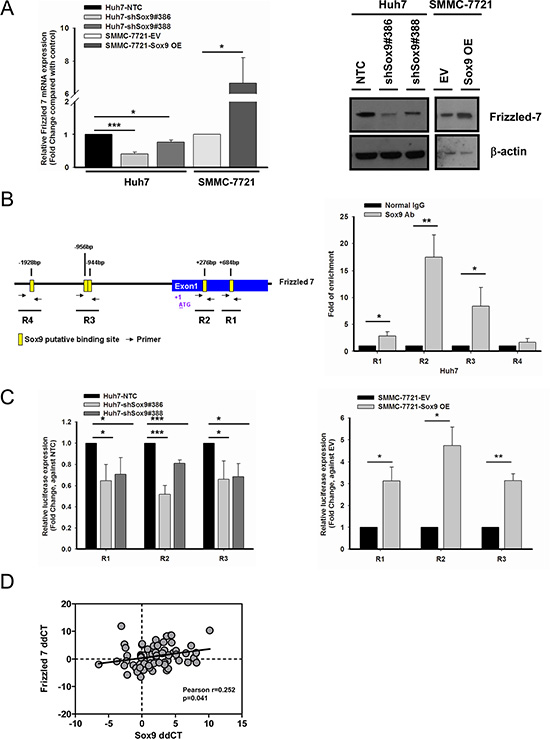 Frizzled-7 (FZD7) is a transcriptional target of Sox9 in HCC.