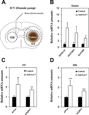 Anti-Let-7 is delivered directly into the cerebrospinal fluid by intraventricular administration via osmotic pump in U87MG orthotopic xenograft models.