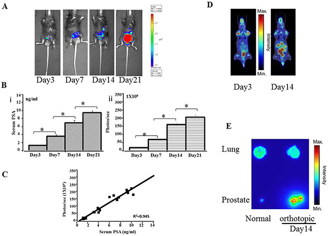 Preclinical orthotopic mouse models using RM9-Luc-pIRES-KLK3 cells (n = 7)