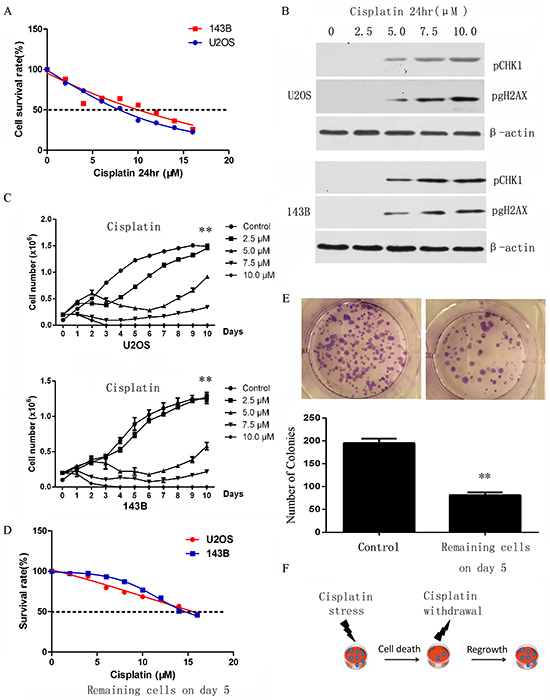 Selection of cisplatin resistant osteosarcoma cells.