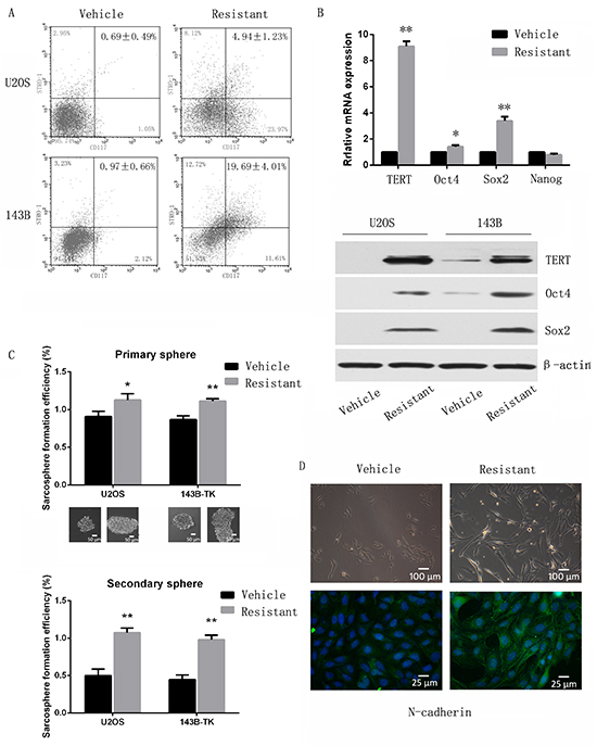 Chemoresistant osteosarcoma cells possess traits of cancer stem cells.