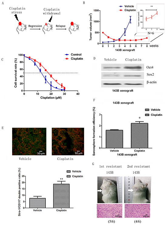 Cancer stem cells are enriched in a chemoresistant xenograft model.