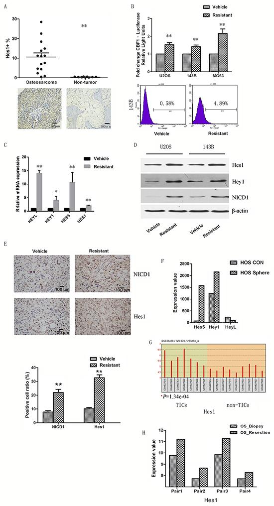 Notch signaling participates in cisplatin-resistant CSCs.