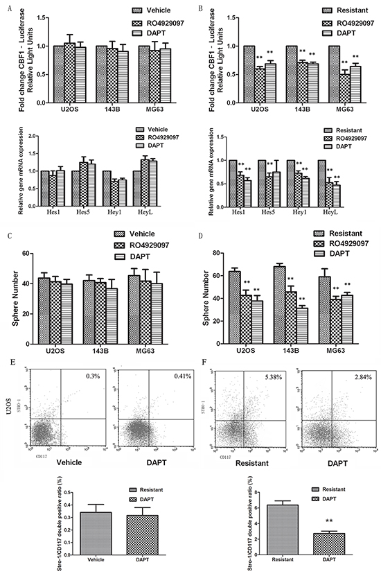 Notch inhibition eliminates CSCs and overcomes drug resistance.
