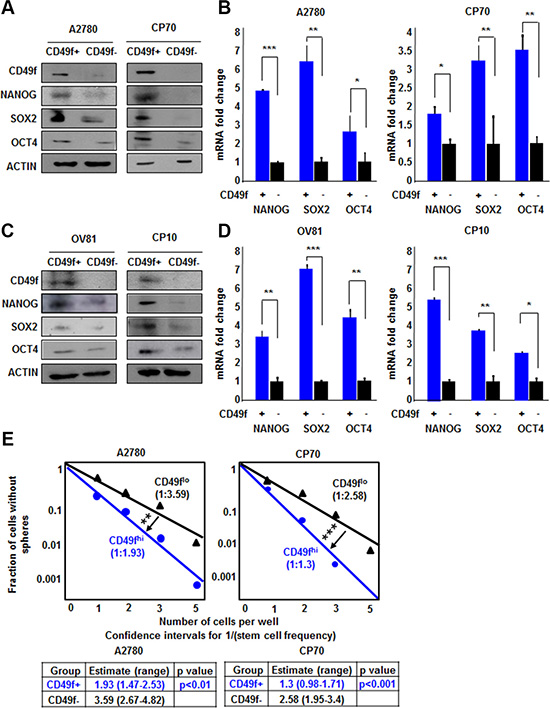 CD49f enriches CSCs in both A2780/CP70 and OV81/CP10 cells.