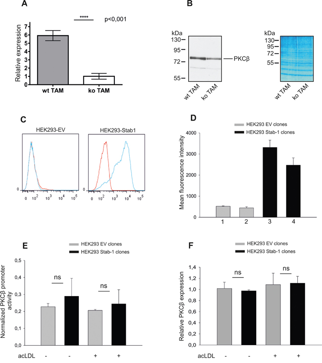 Assessment of stabilin-1 role in the activation of PKCβ gene expression.