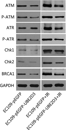 UBE2D3 overexpression decreased DNA damage related proteins after IR.