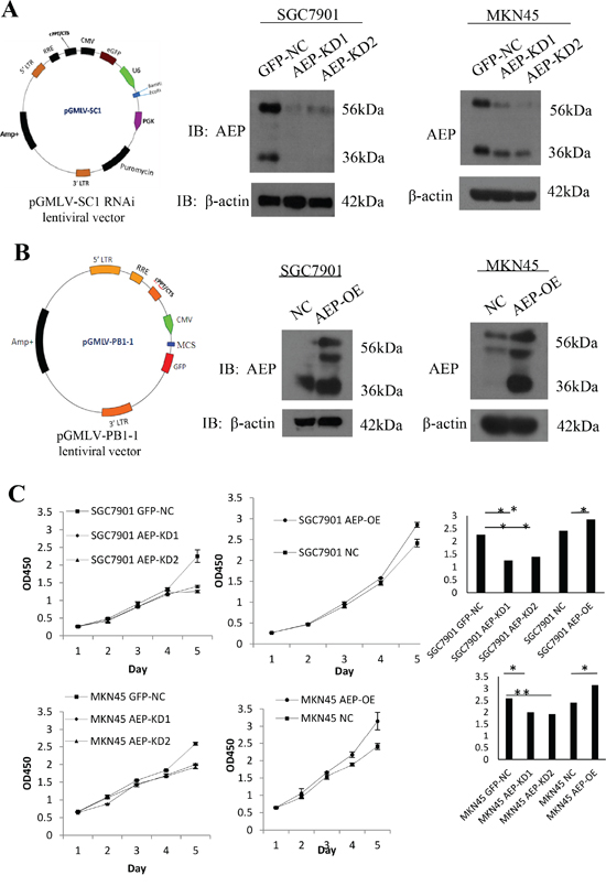 AEP knockdown and overexpressive vectors were constructed and stably transfected gastric cancer cell lines.