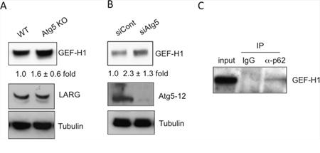 Autophagic degradation of GEF-H1, a Rho GEF.