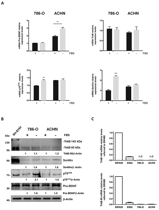 Pro-BDNF, BDNF, p75NTR, TrkB and sortilin expressions in 786-O and ACHN renal cell carcinoma cells in presence or absence of fetal bovine serum (FBS).
