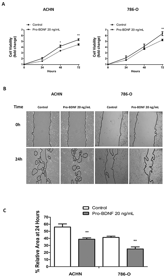 Pro-BDNF increases both cell viability and migration, in ACHN and 786-O renal cell lines.