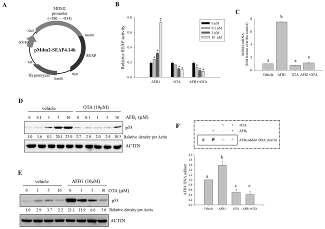 Effects of carcinogenic mycotoxins on Mdm2 and p53 expression in human intestinal cancer cells.