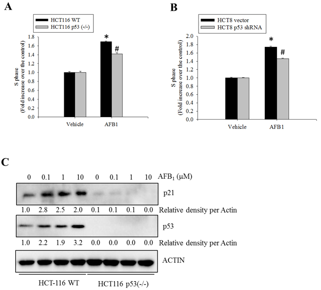 Roles of p53 protein in AFB1-induced S phase arrest.